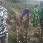Mama Tibaijuka akiwa shamba la mbegu la Kyamyolwa Muleba akivuna nyanya