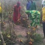 Mh Mama Tibaijuka akiwa shamba la mbegu la Kyamyolwa Muleba akivuna nyanya
